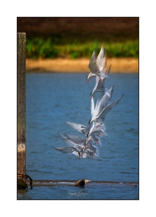 Dive Dive Dive - Common Tern composite