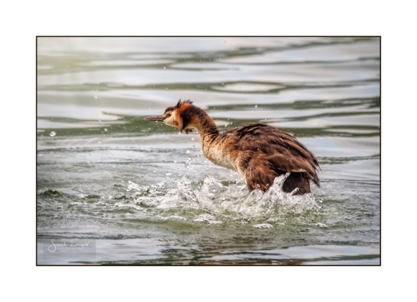 Grebe thrashing the lake water