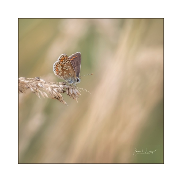 Brown Argus at RHS Wisley Gardens