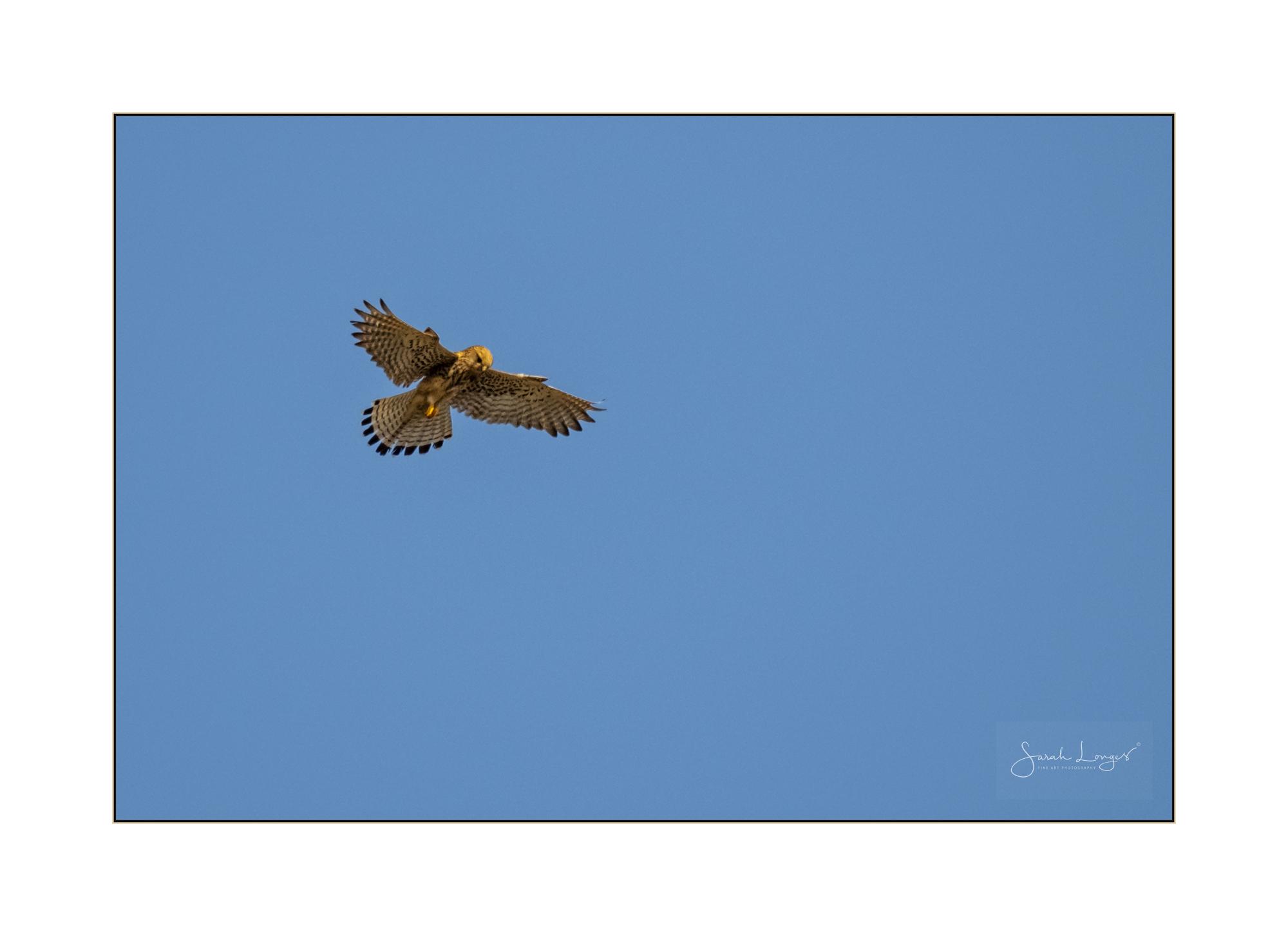 Kestrel hovering over Kefalos