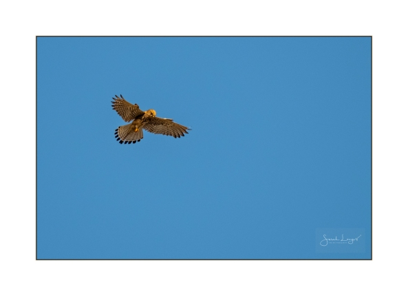 Kestrel hovering over Kefalos