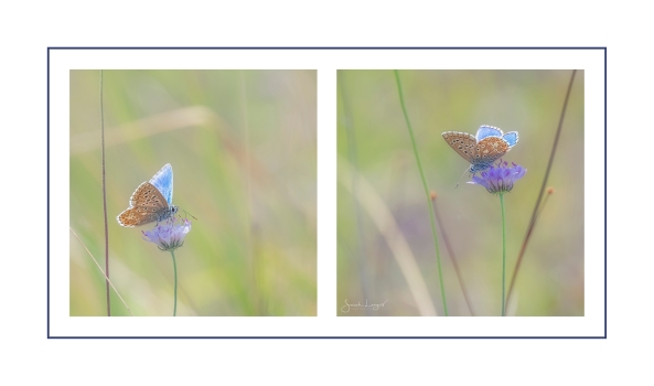 Adonis Blues at Box Hill