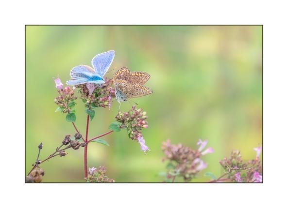 Common Blue Courtship
