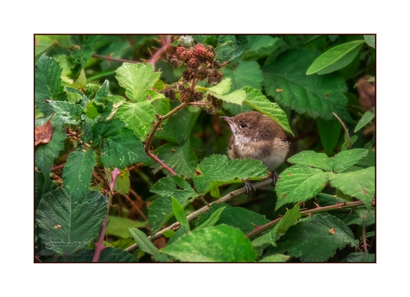 Fledgeling whitethroat eyeing up the berries