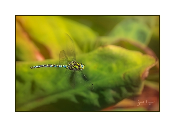 Summer Has Flown By - Southern Hawker Dragonfly
