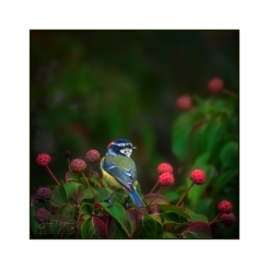 Banquet For Blue Tits