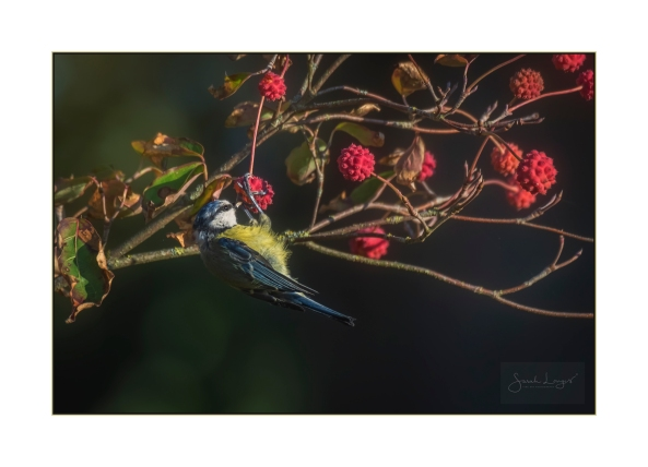 Blue Tit Bounty