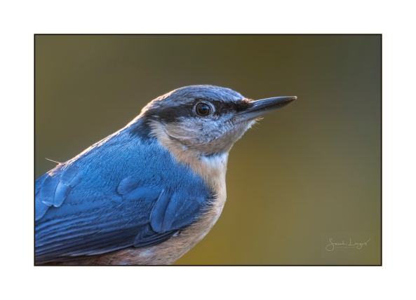 Nuthatch Portrait