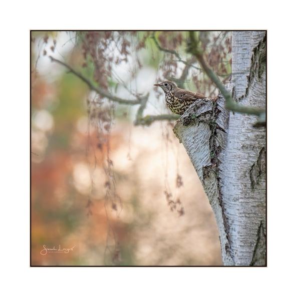 Mistle Thrush Guarding Mistletoe Patch