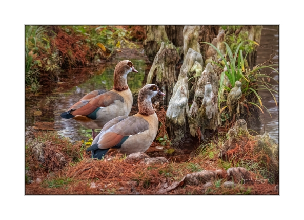 Trees' Knees And Egyptian Geese