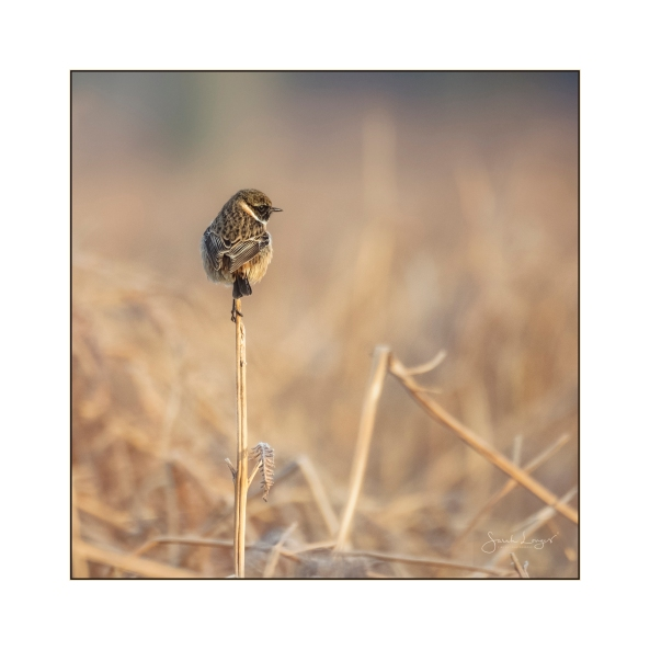 Stonechat Lookout
