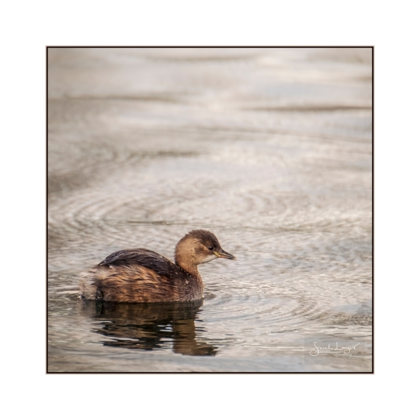 Little Grebe in St James's Park