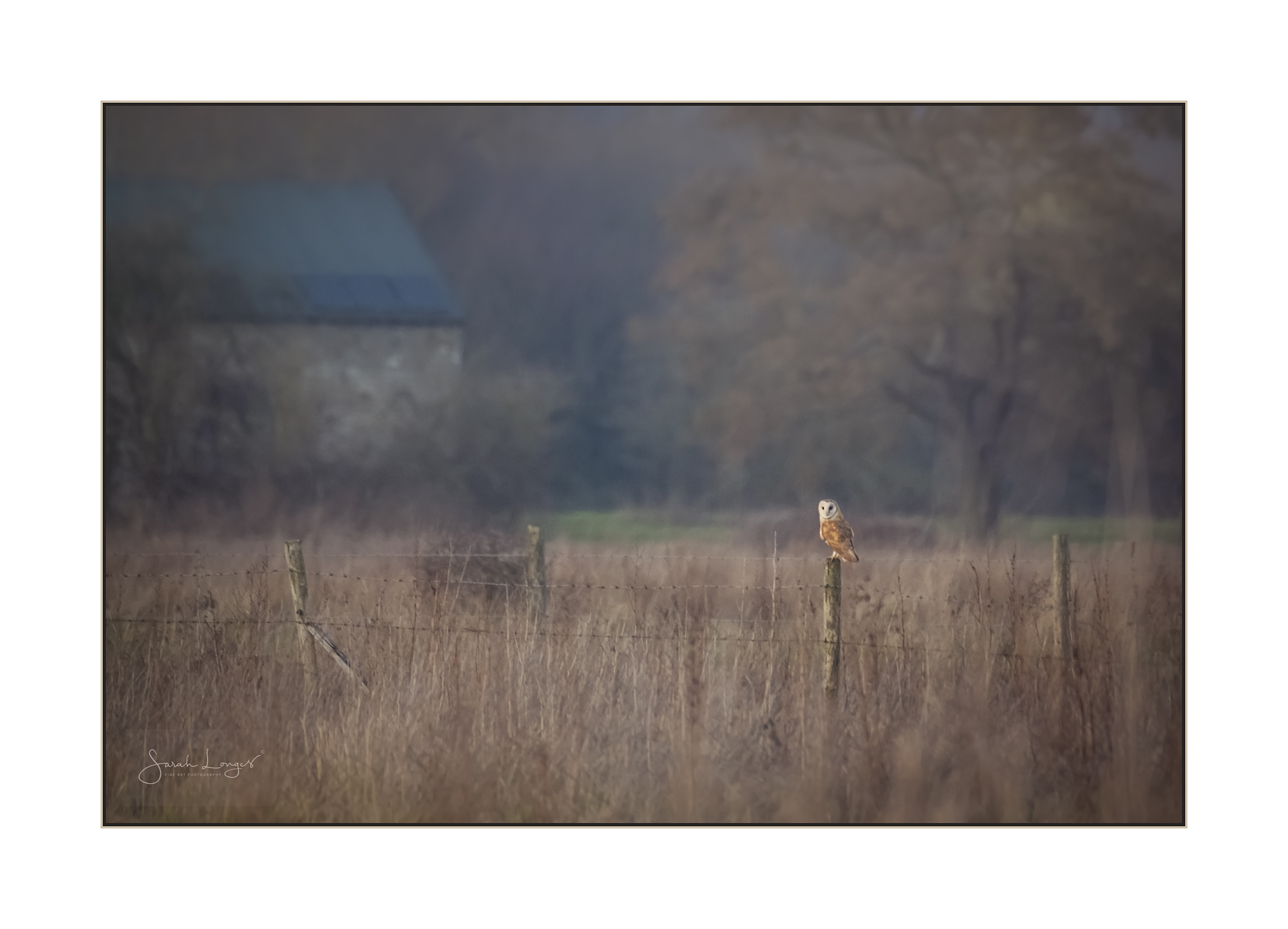 Barn Owl in Papercourt Meadows