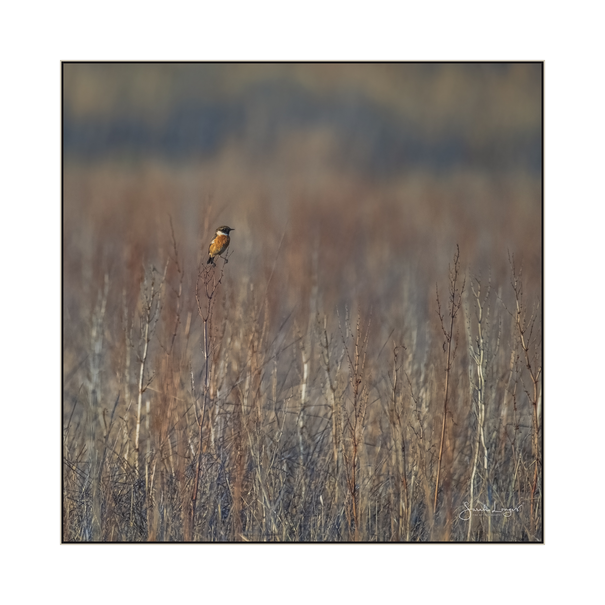 Male Stonechat at Papercourt Meadows