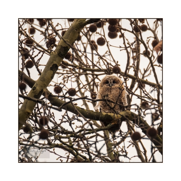 Tawny Owl juvenile in St James's Park