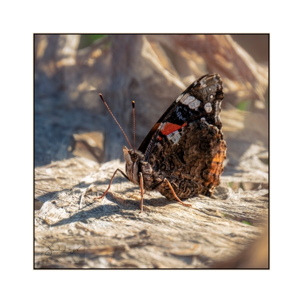 Red Admiral February 2019