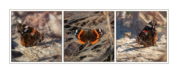 Red Admiral Tryptich, February 2019