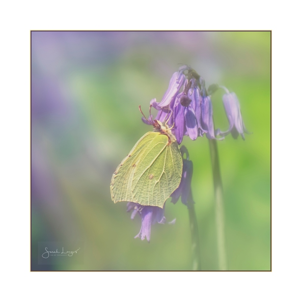 Brimstone On Bluebells