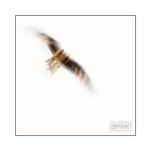 Red Kite movement