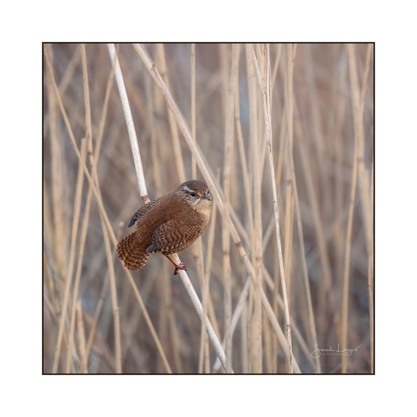 Wren In The Reeds