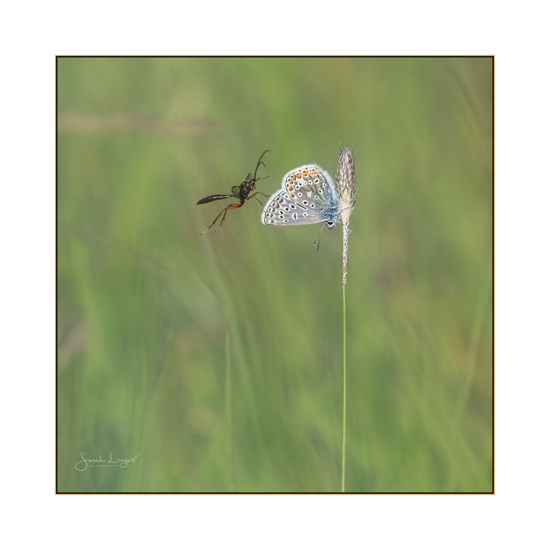 Ichneumonid parasitoid wasp and common blue butterfly