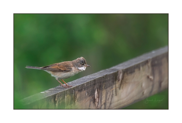 Watchful Whitethroat