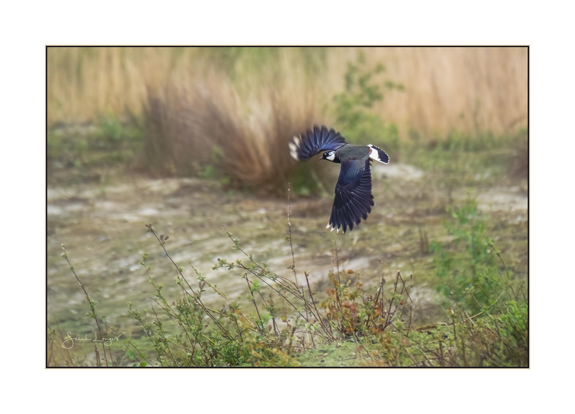 Lapwing in flight at Heather Farm