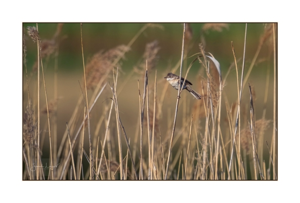 Whitethroat in the reeds at Heather Farm