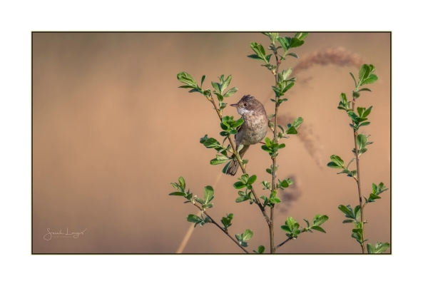 Whitethroat at Heather Farm