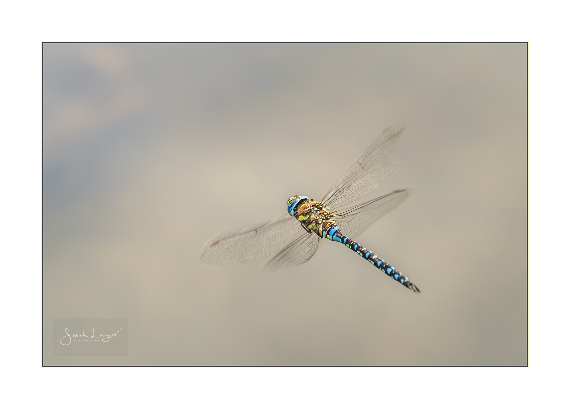 Migrant Hawker dragonfly in flight