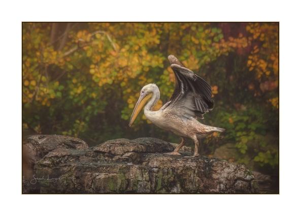 St James's Park Pelican in Autumn