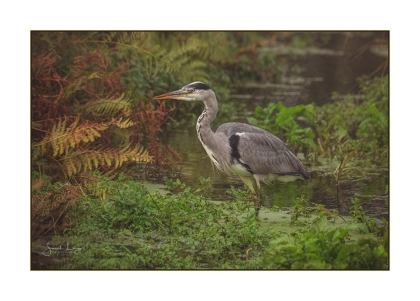 Heron in the canal