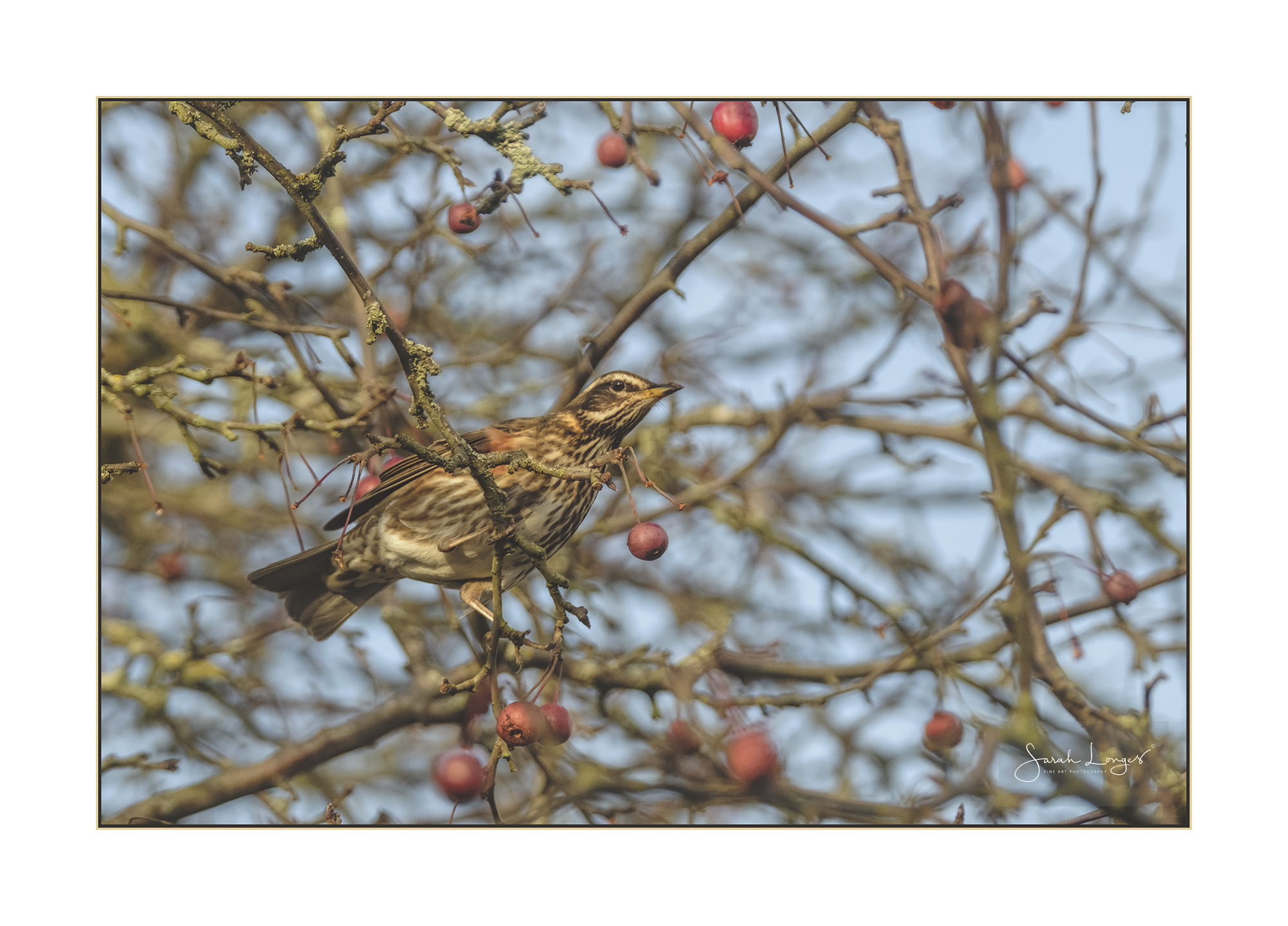 Redwing in the Cherry Tree