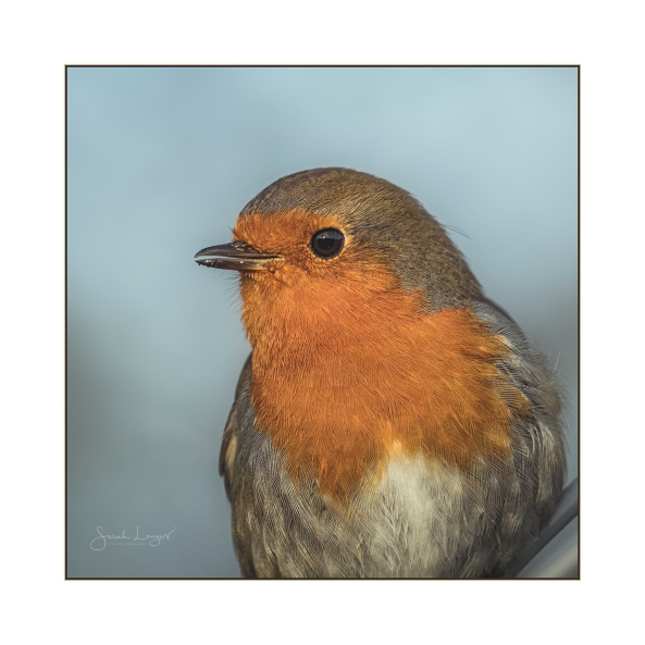 Rocking Robin