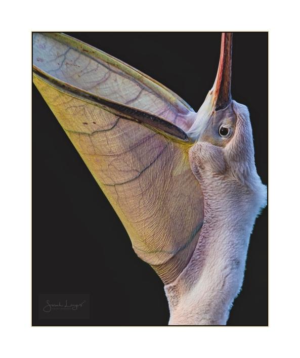 Pelican Gular Pouch