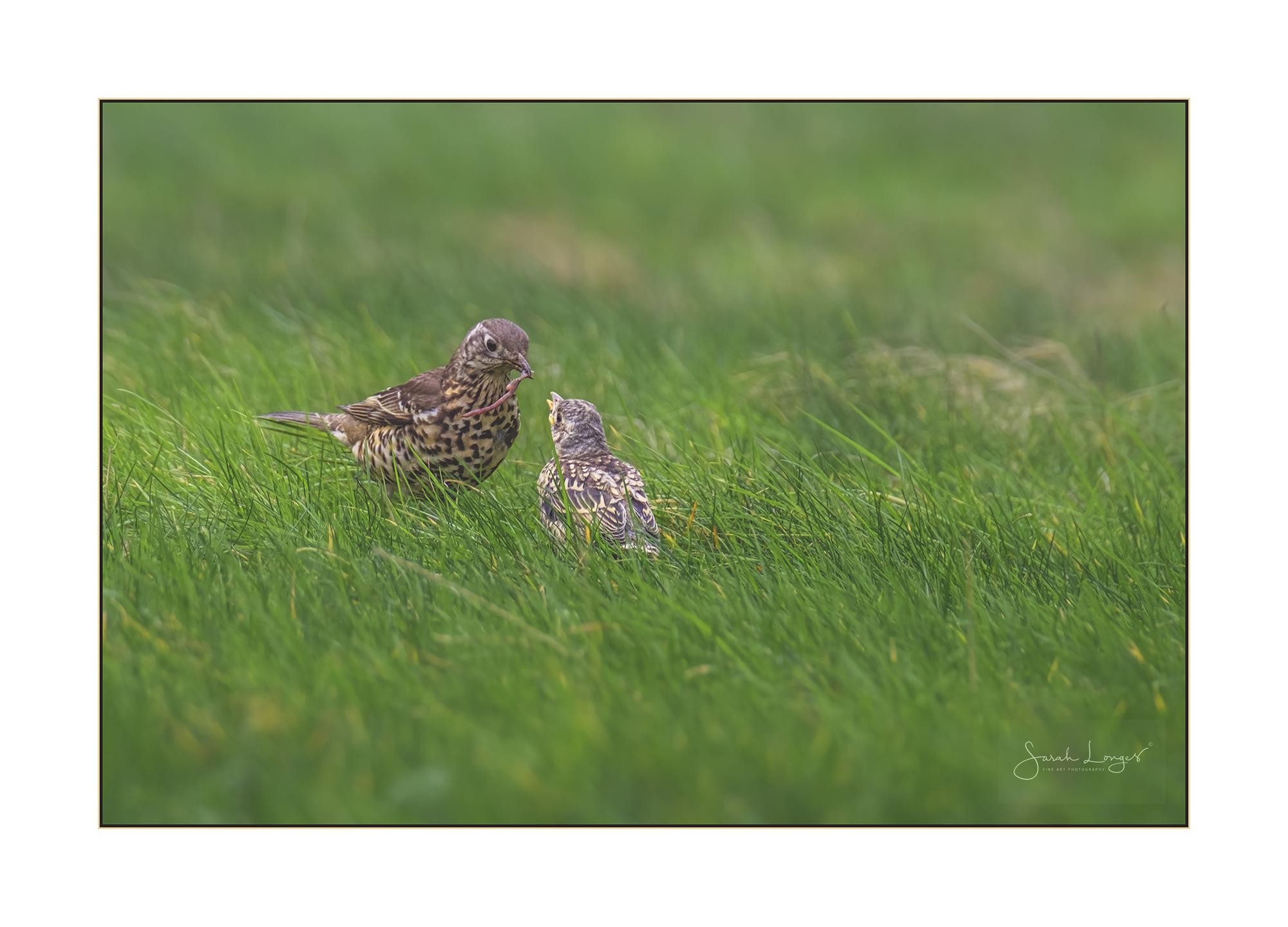 Feeding time for fledgling song thrush