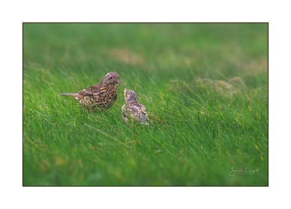 Feeding time for fledgling song thrush