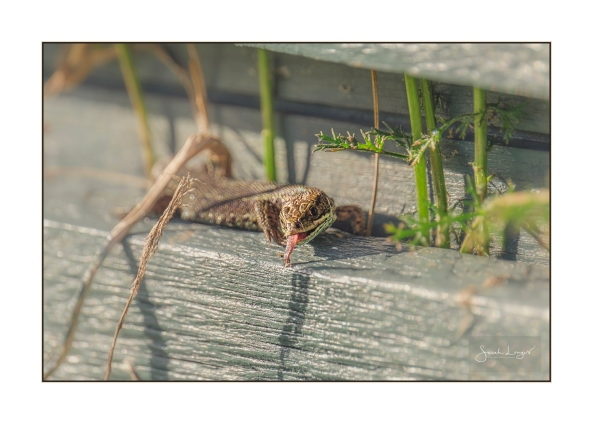 Common Lizard scenting with it's tongue