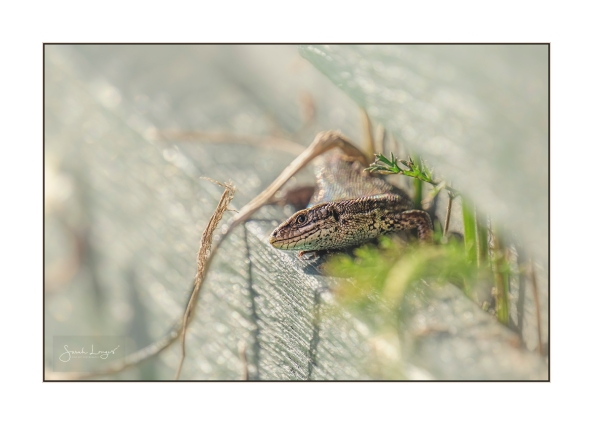 Common Lizard giving me a cheeky grin
