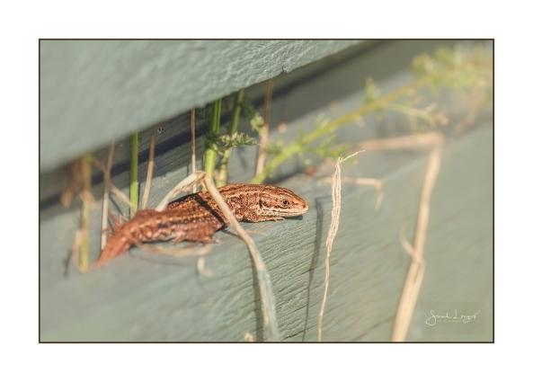Common Lizard on wooden slats