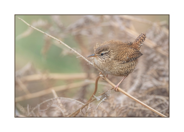 Wonderful Wren