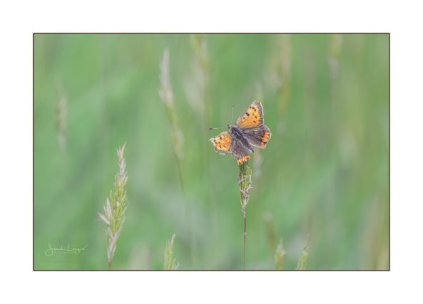 A ragged small copper butterfly