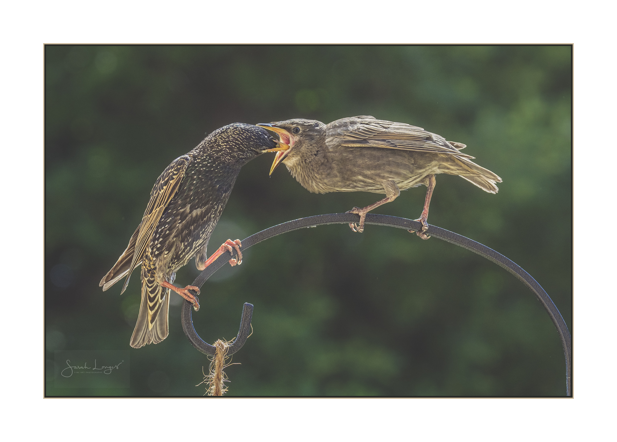 The Very Hungry Starling