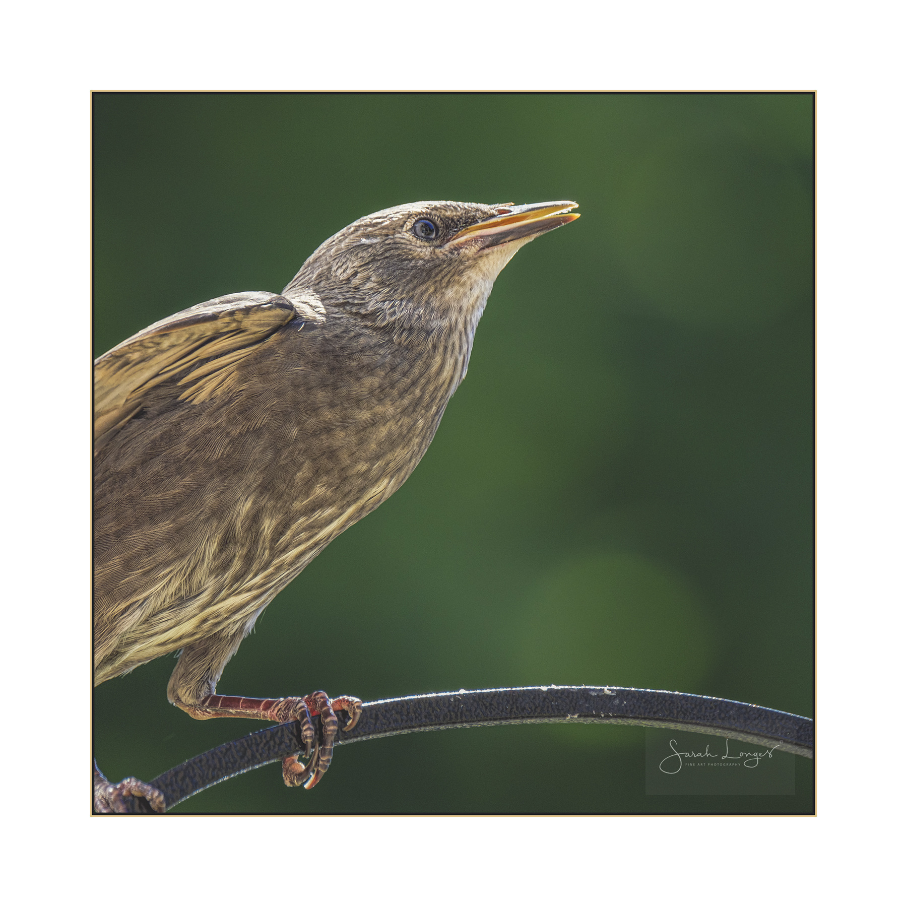 Fledgling Starling Detail