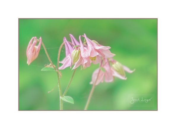 Columbine or Aquilegia