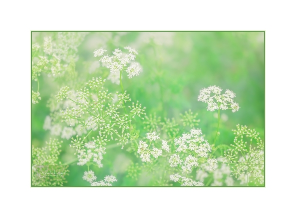Cow Parsley or Queen Anne's Lace