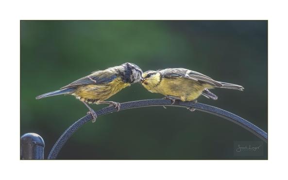 Feeding a fledgling Blue Tit