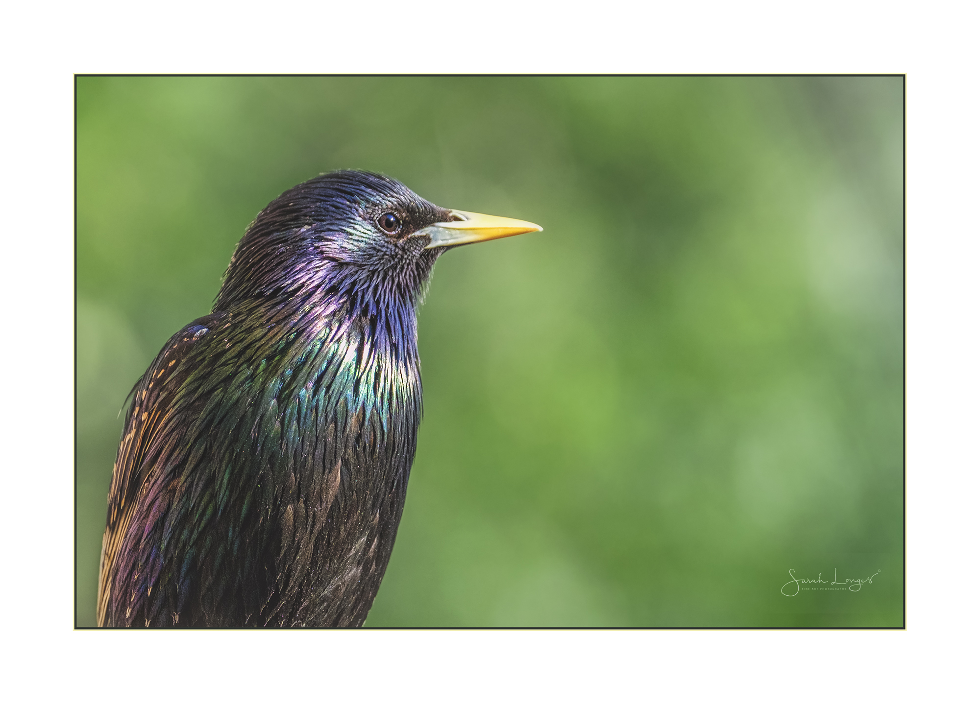 Adult Starling Plumage