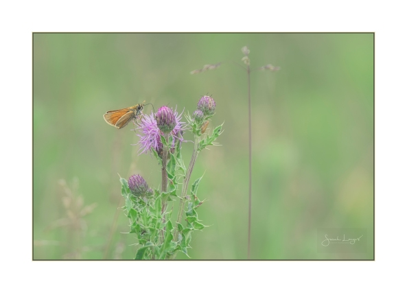 Skipper on Thistle