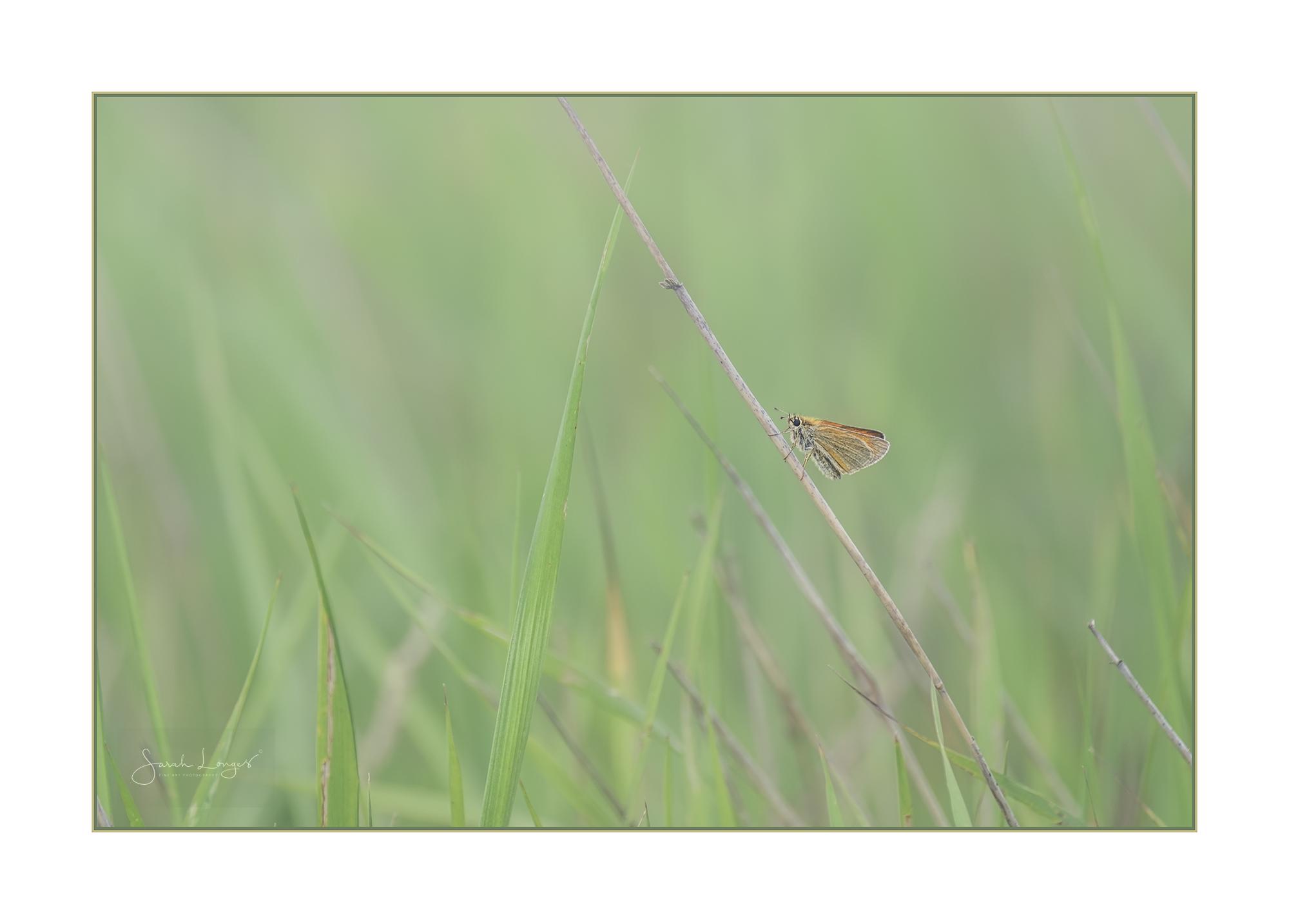 Essex Skipper on grasses